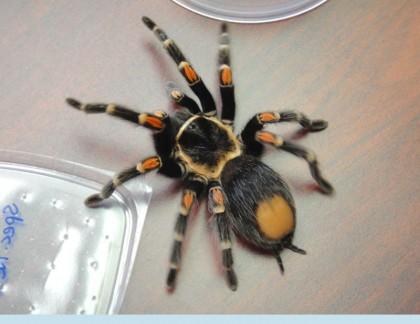Tarantula/doj photo