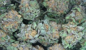 Photo of marijuana by Steve Neavling.
